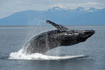 Buckelwale Spezial / Humpback Whale Specials