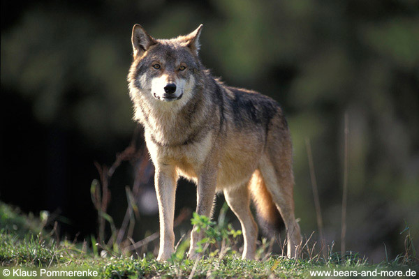 Wolf / Wolf (Canis lupus)