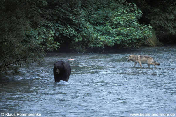 Begegnung von Wolf und Grizzly / Wolf and Grizzly encounter