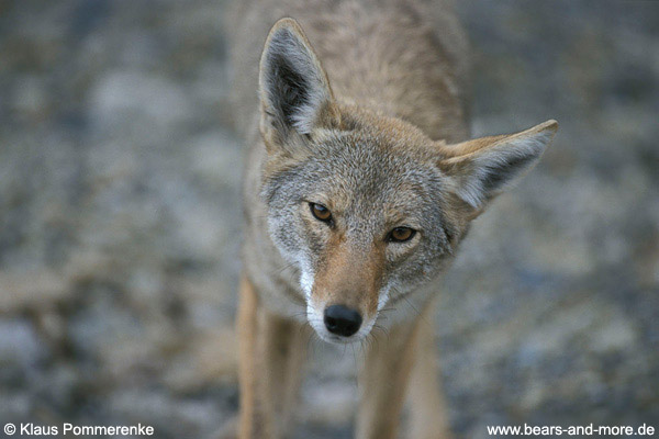 Coyote / Coyote (Canis latrans)