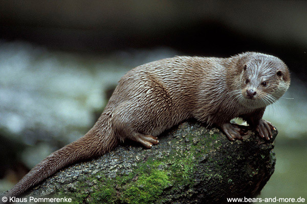 Fischotter / River Otter (Lutra canadensis)