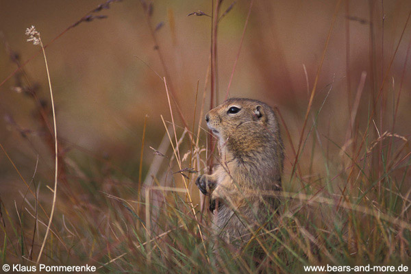 Arktisches Ziesel / Arctic Ground Squirrel (Spermophilus parryii)