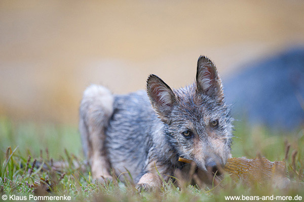 Wolfswelpe mit Seetang / Wolf Pup with Kelp