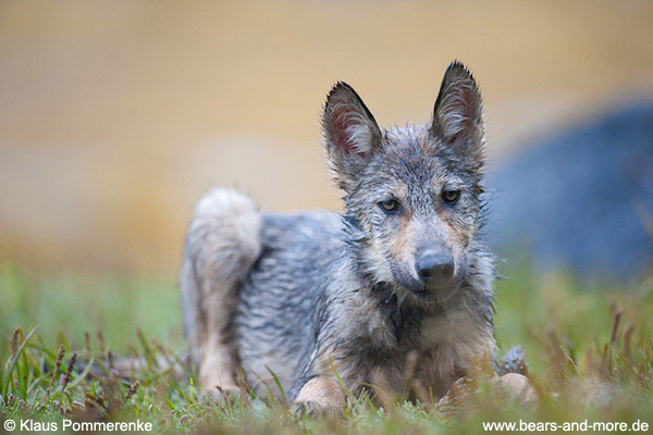 Wolfswelpe / Wolf Pup