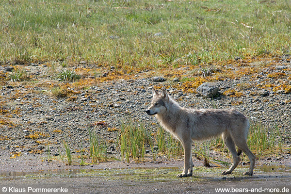 Wölfin / Female Wolf
