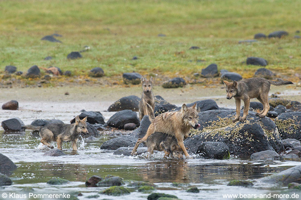 Wolfsrudel auf Lachsfang / Wolf Pack catching Salmon