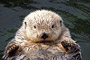 Seeotter / Sea Otter (Enhydra lutris) [C]